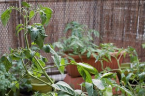 tomato, plant, food, green, city living, city garden, balcony, terrace, pots, plants, grow, grow your own, gyo, lifestyle, living, recipes,