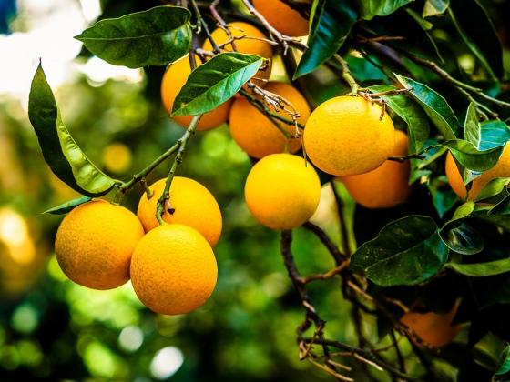 lemon, lemon tree, lemons, fruit, christmas, christmas presents, winter, gifts, christmas day, fruit, fruit trees, citrus trees, citrus, delicious, juicy, practical, long-lasting