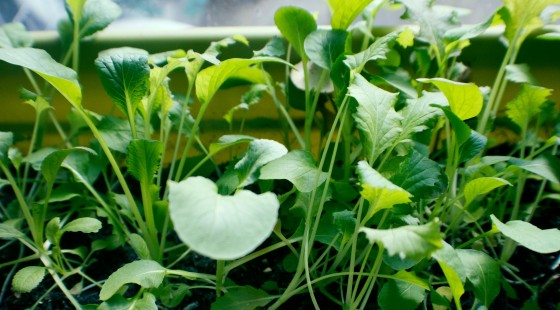 salad, crop, harvest, food, foodies, recipes, meal, recipe, food, meal time, dinner, sandwiches, green, leaves, lettuce, mixed leaf lettuce, lambs lettuce, rocket, leaf, nature, home, living, lifestyle, basil, herbs, oregano, italian, cooking, cook, eat, cheap, thrifty, save, budget, easy, grow, gardening, garden, growing,