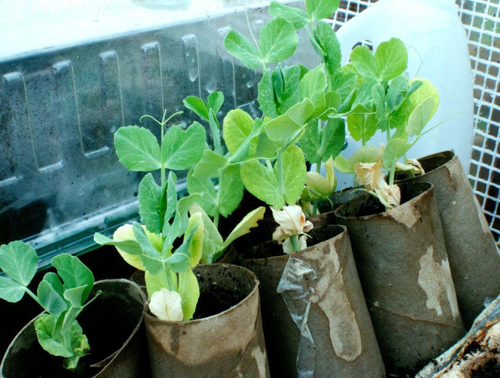 peas, peashoots, grow your own, grow your own food, foodies, food blog, blog, blogger, food blogger, lifestyle, living, urban garden, windowsill garden, container garden, small space garden, small space, healthy, fresh, delicious, meals, budget, flavours