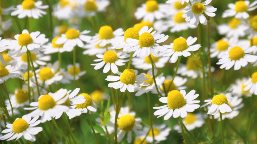 chamomile, flowers, chamomile tea, anxiety, depression, herb, food, garden, gardening, growing, grow, nature, plants, plant, bloom, allotment