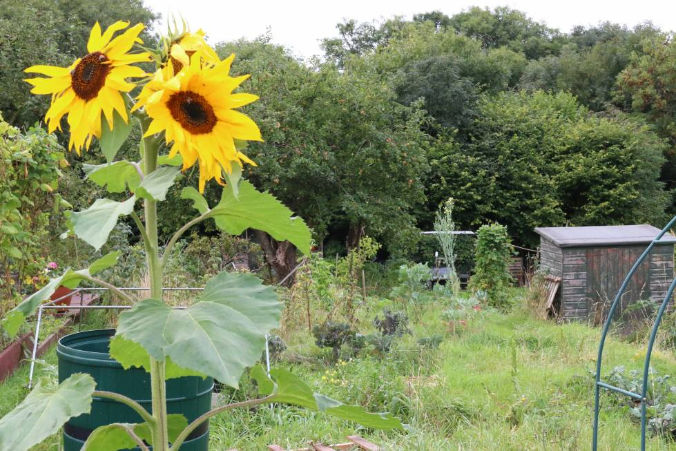 sunflowers, allotment, mental health, depression, anxiety, stress, lifestyle, healthy, garden, gardening, plants, nature, flowers, blooms, allotment, city life